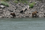 Momma and the cubs hangin' out at the Thompson river's edge
