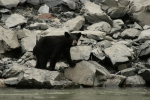 A fairly common sighting along the banks of the Fraser river